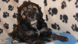 Cockapoo brindle female